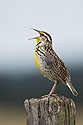 Meadowlark in Custer State Park, April 2017.