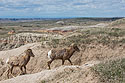 Bighorns, Badlands National Park, April 2017.