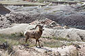 Bighorn in the Badlands, April 2017.