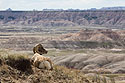 Bighorn relaxing and enjoying the view, Badlands National Park, April 2017.