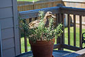 One of the weirder wildlife encounters I´ve had.  This duck seemed to be considering building a nest in the rosemary plant on my deck, April 2017.