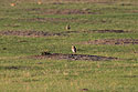 Burrowing owl east of Pierre, SD, August 2017.