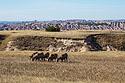A flock of six bighorn ewes in the Badlands, South Dakota, September 2017.