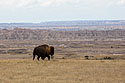 A solitary bison looking for a spot to graze along the rim above the Badlands, South Dakota, September 2017.