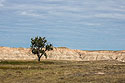 Lone tree in a prairie dog town, Conata Basin, South Dakota, September 2017.