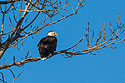 Bald Eagle, Loess Bluffs National Wildlife Refuge, Missouri, December 2017.