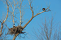 Bald Eagles at nest, Loess Bluffs National Wildlife Refuge, Missouri, December 2017.