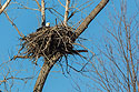 Bald Eagle in nest, Loess Bluffs National Wildlife Refuge, Missouri, December 2017.