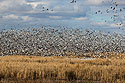 Snow geese, Loess Bluffs National Wildlife Refuge, Missouri, December 2017.