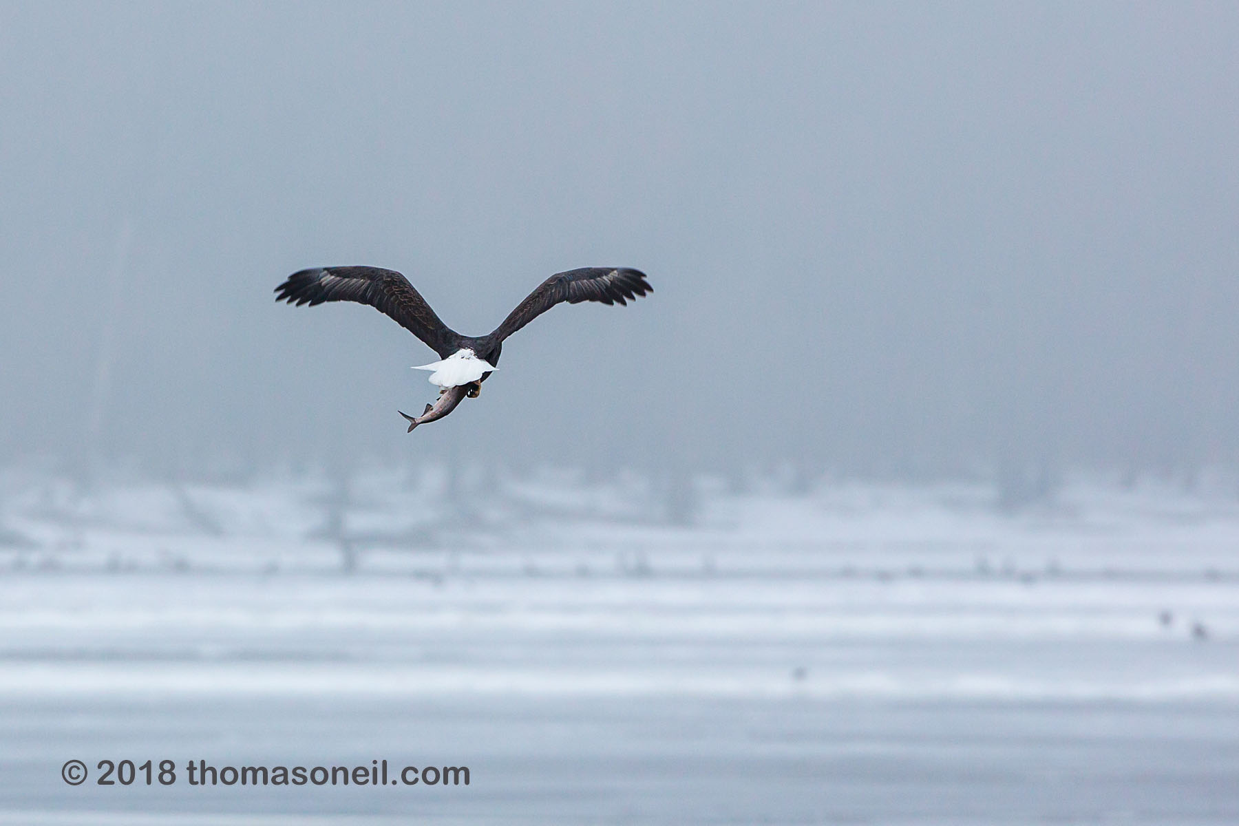 Bald eagle with a fish, Keokuk, Iowa, January 2018.  Click for next photo.