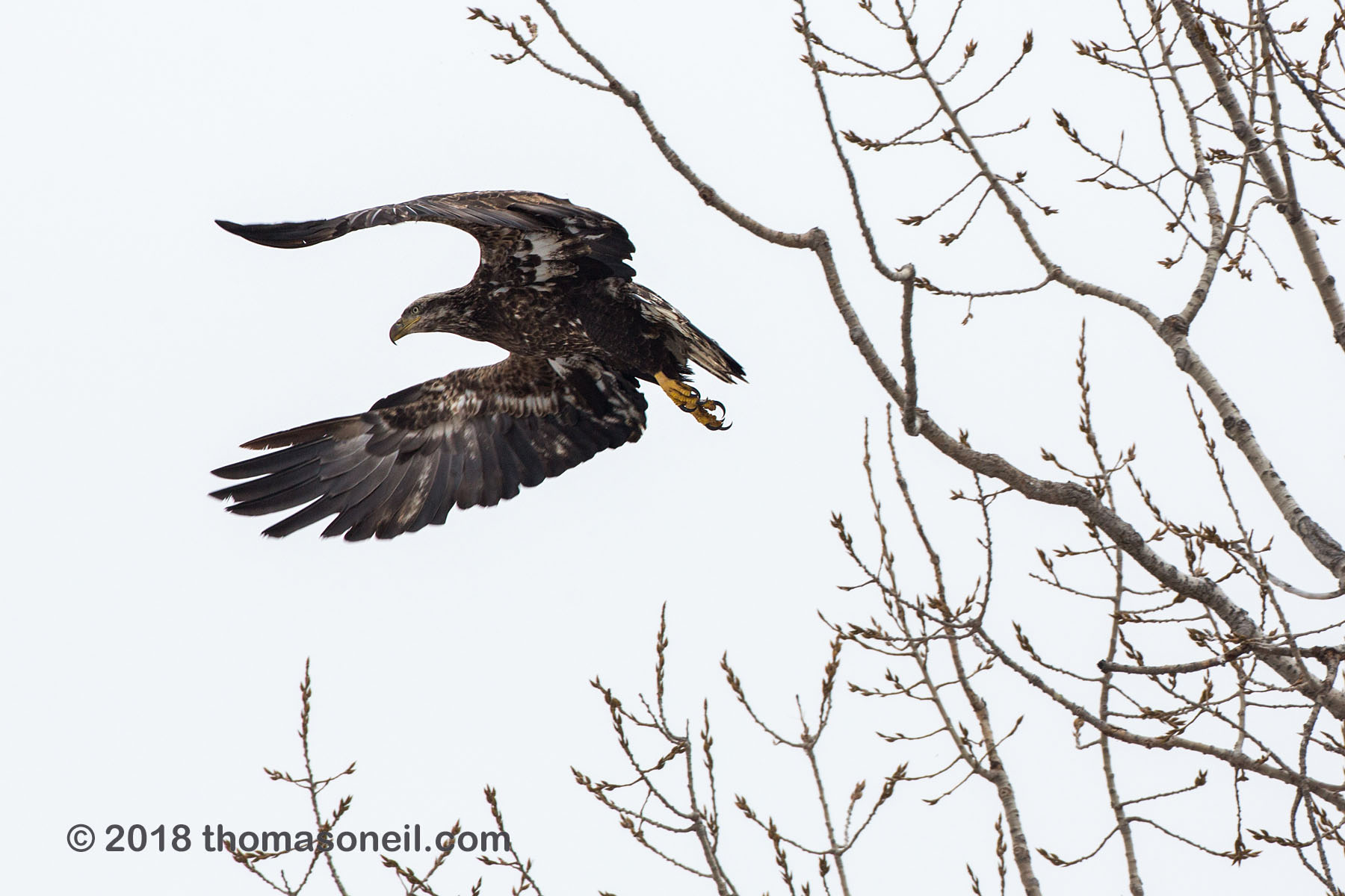 Juvenile bald eagle takes off, Lock and Dam 18, Illinois, January 2018.  Click for next photo.