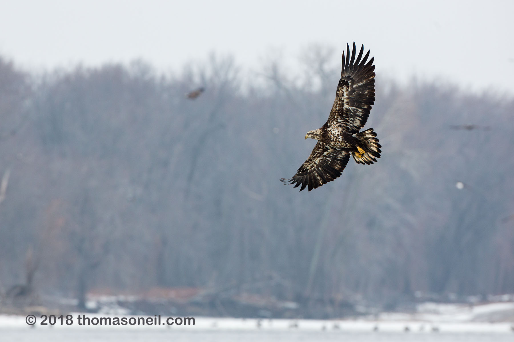 Juvenile bald eagle swings around for another try, 3 of 13 in sequence, Lock and Dam 18, Illinois, January 2018.  Click for next photo.