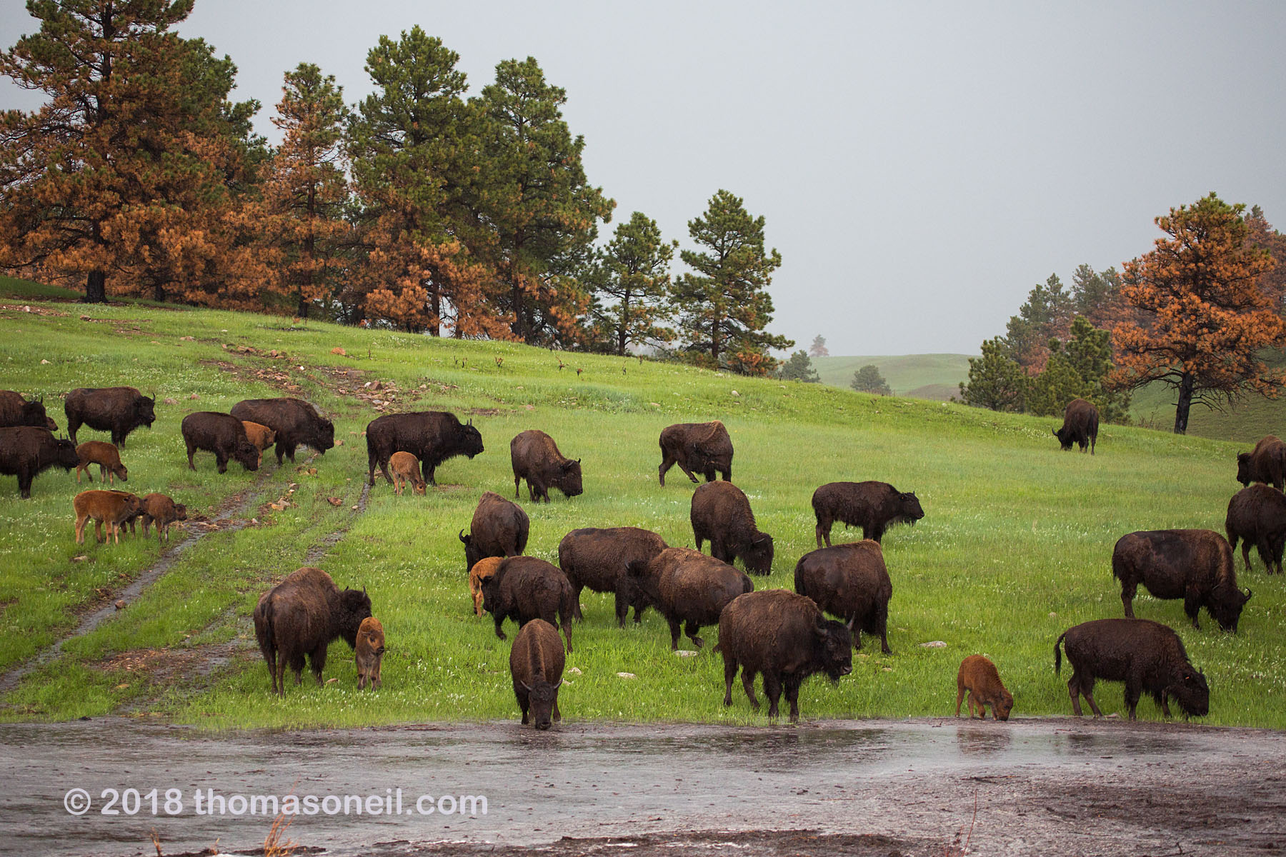 Bison endure a downpour, Custer State Park.  Click for next photo.