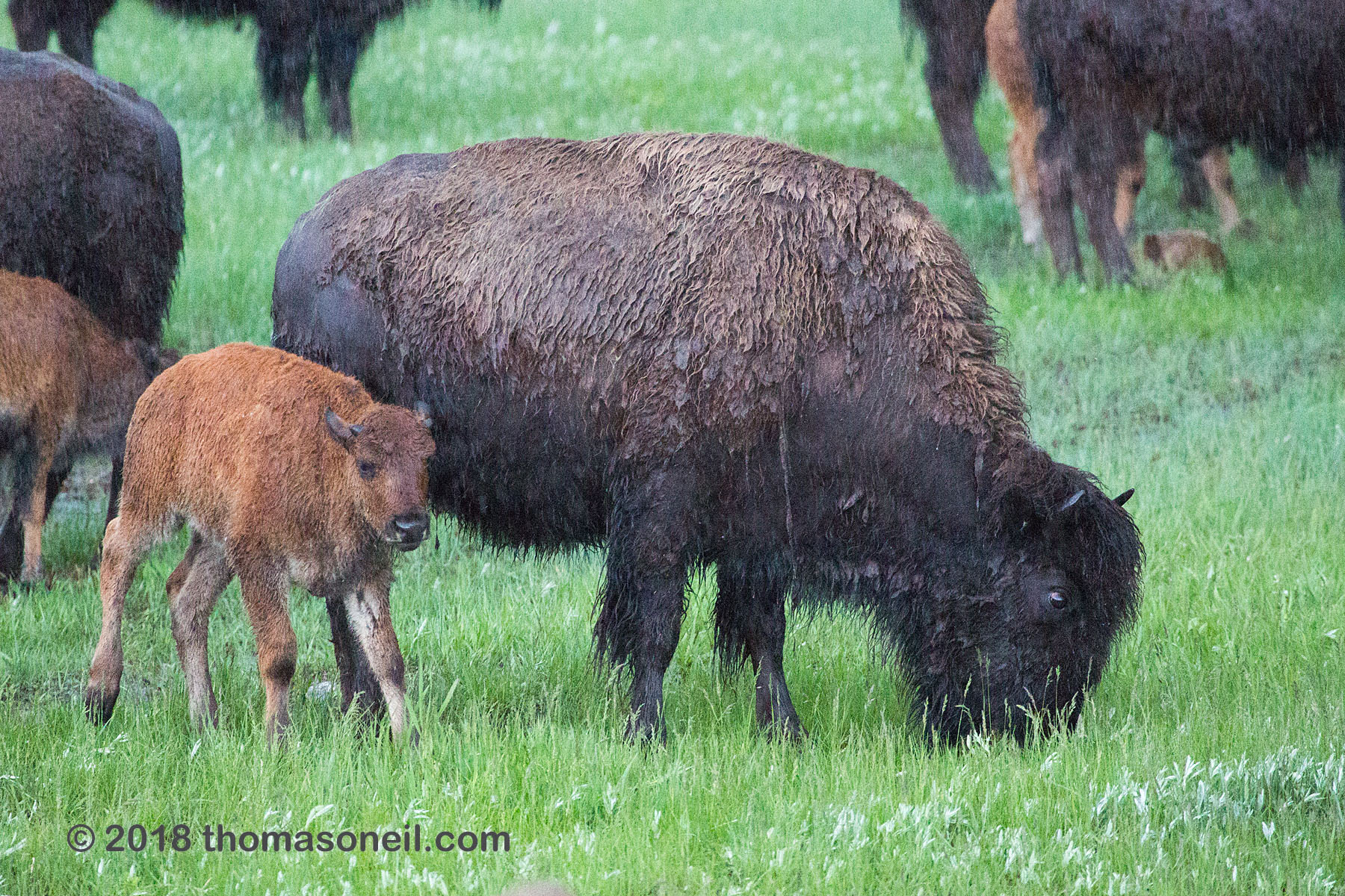 Bison with calf, Custer State Park.  Click for next photo.