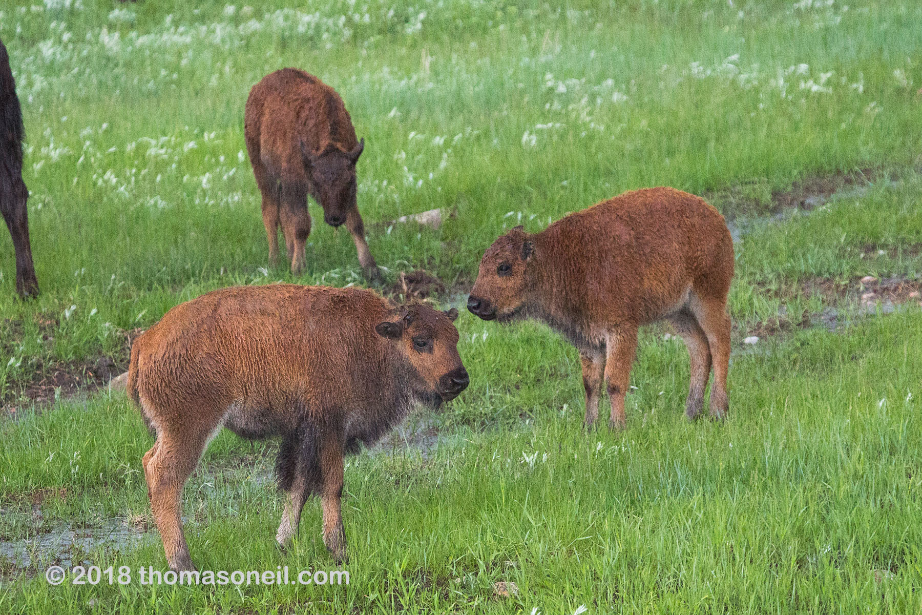 Three bison calves, Custer State Park.  Click for next photo.
