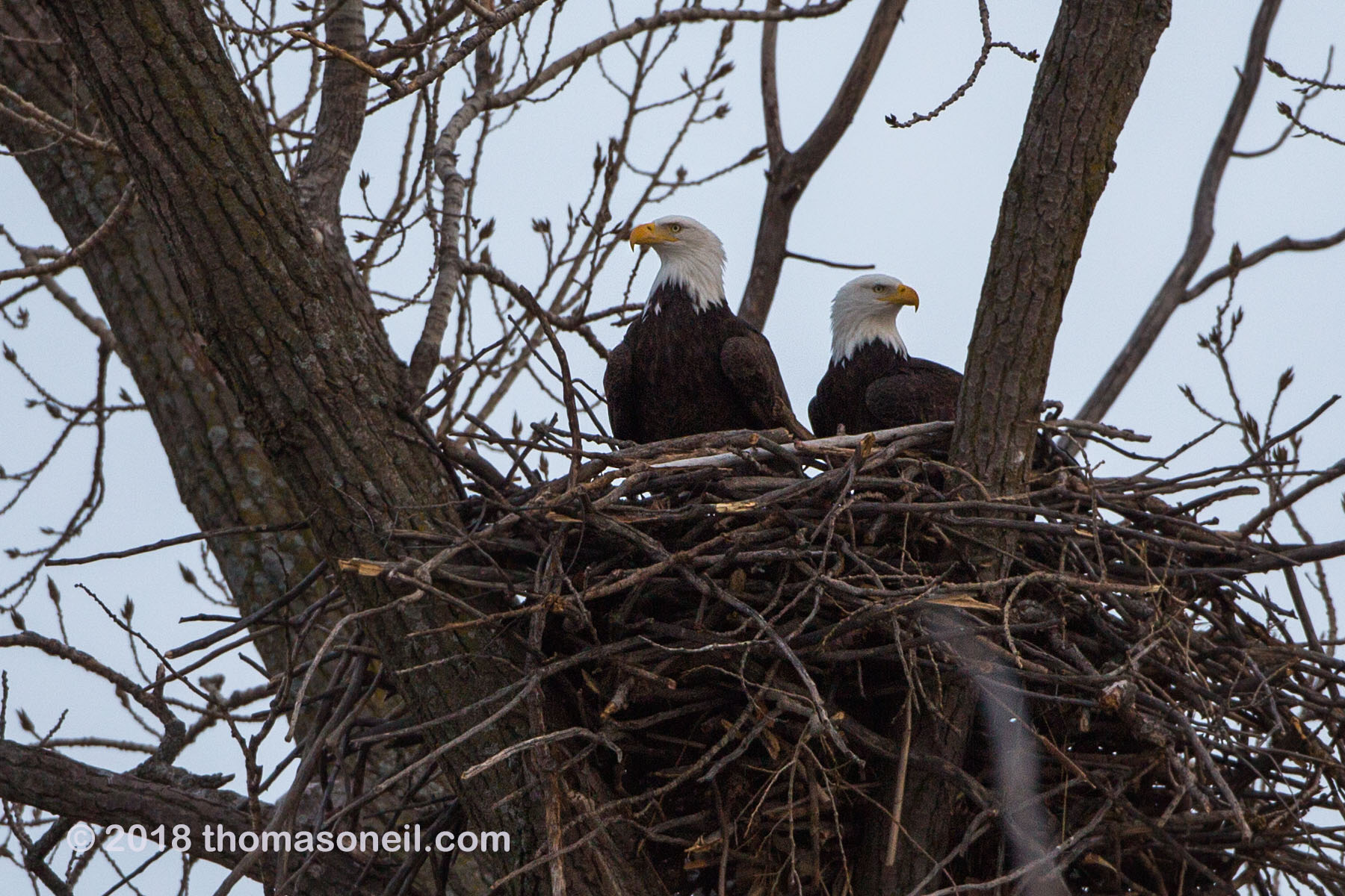 Bald eagles in nest, Loess Bluffs National Wildlife Refuge, Missouri, December 2018.  Click for next photo.