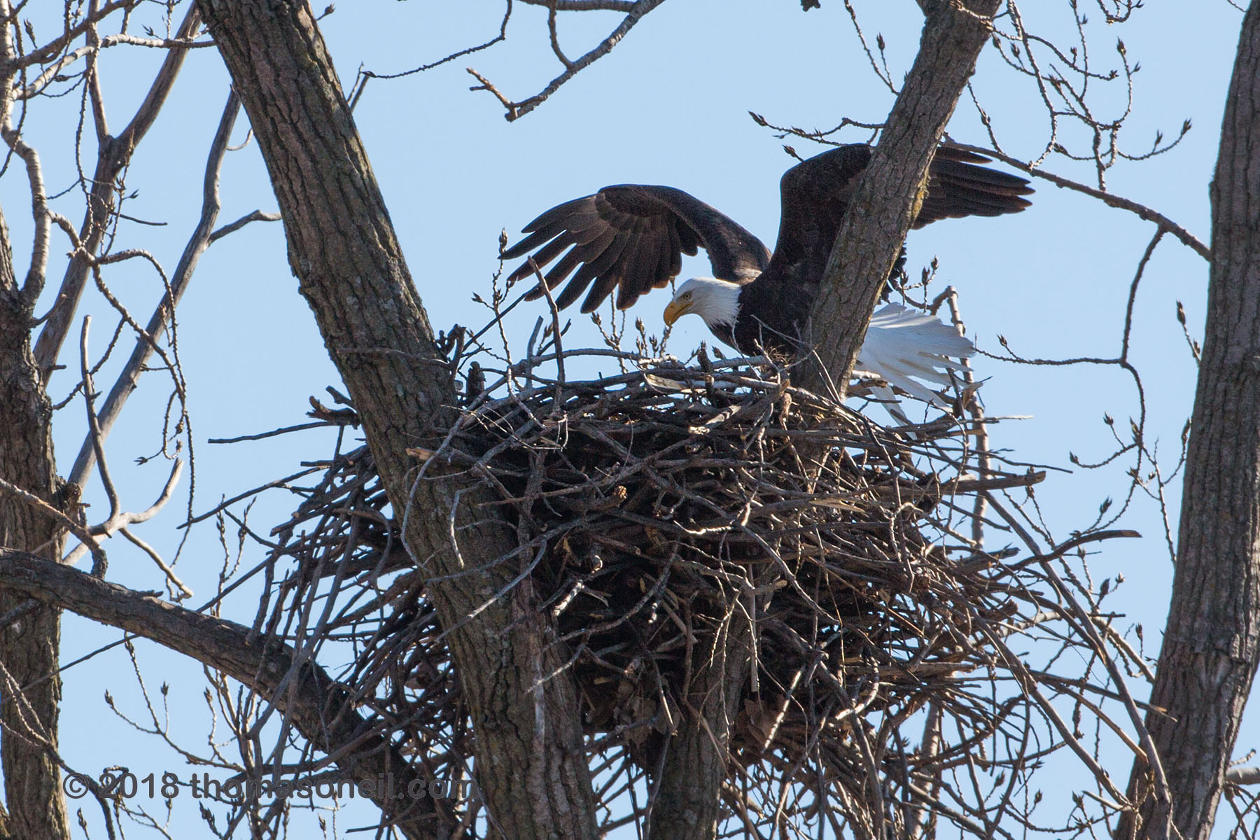 Bald eagle lands in the nest, Loess Bluffs National Wildlife Refuge, Missouri, December 2018.  Click for next photo.