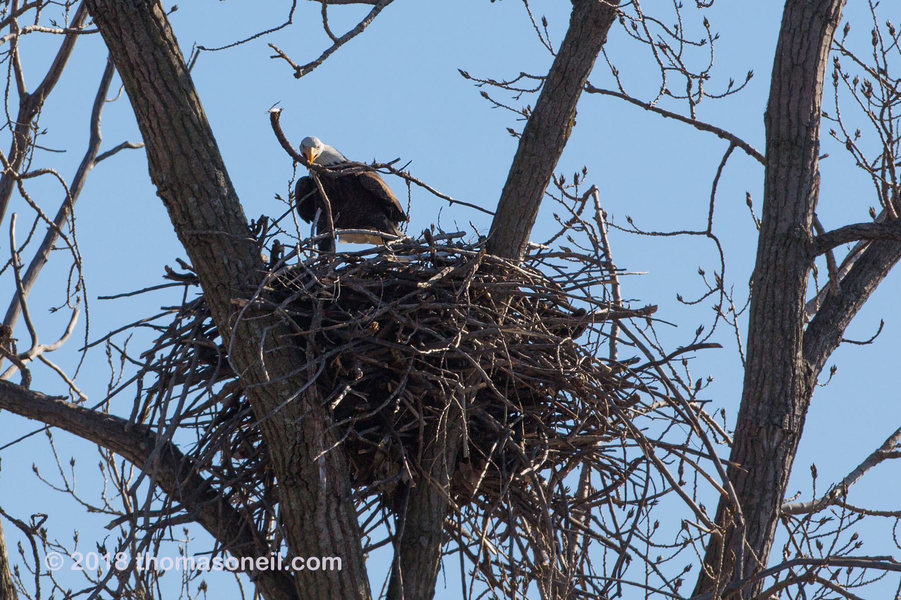 Bald eagle placing stick in the nest, Loess Bluffs National Wildlife Refuge, Missouri, December 2018.  Click for next photo.