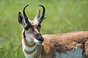 Pronghorn, Custer State Park.