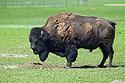 Bison posing for a nickel, Badlands National Park.