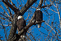Bald eagles, Loess Bluffs National Wildlife Refuge, Missouri, December 2018.