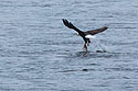 Bald eagle pulls the fish out of the water, Keokuk, Iowa, January 2018.
