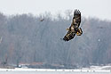 Juvenile bald eagle swings around for another try, 3 of 13 in sequence, Lock and Dam 18, Illinois, January 2018.