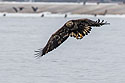 Juvenile bald eagle with fish, 9 of 13 in sequence, Lock and Dam 18, Illinois, January 2018.
