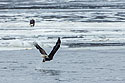 Bald eagle grabs a fish, Keokuk, Iowa, January 2018.