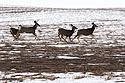 Deer racing along flats above the Badlands, February 2018.