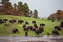 Bison endure a downpour, Custer State Park.