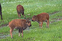 Three bison calves, Custer State Park.