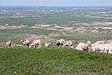 Group of bighorn ewes, Badlands National Park.