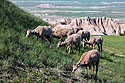 Group of bighorn ewes, Badlands National Park.