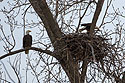 Bald eagles in nest, Loess Bluffs National Wildlife Refuge, Missouri, December 2018.