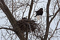 Bald eagle returning to the nest, Loess Bluffs National Wildlife Refuge, Missouri, December 2018.