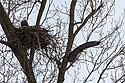 Bald eagle leaving the nest, Loess Bluffs National Wildlife Refuge, Missouri, December 2018.