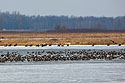 About 20 bald eagles on the ice keeping an eye on the ducks, Loess Bluffs National Wildlife Refuge, Missouri, December 2018.