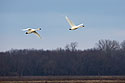 Trumpeter swans, Loess Bluffs National Wildlife Refuge, Missouri, December 2018.