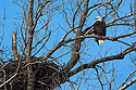 Eagle near nest, west loop of Loess Bluffs National Wildlife Refuge, Missouri, December 2018.  (This is a different nest than most of the images in this slide show.)