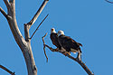 Bald eagles taking a break from nest building, Loess Bluffs National Wildlife Refuge, Missouri, December 2018.