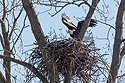 Bald eagle lands in the nest, Loess Bluffs National Wildlife Refuge, Missouri, December 2018.