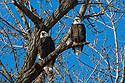 Bald eagles, Loess Bluffs National Wildlife Refuge, Missouri, December 2018.