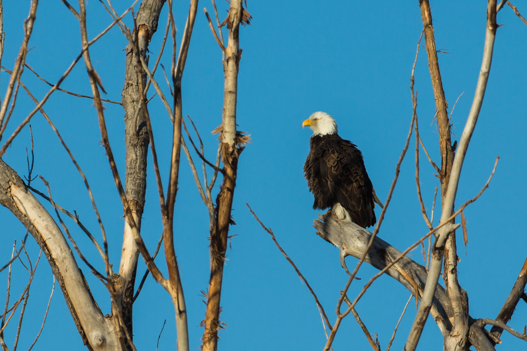 Bald Eagle, Loess Bluffs NWR, December 2019.  Click for next photo.