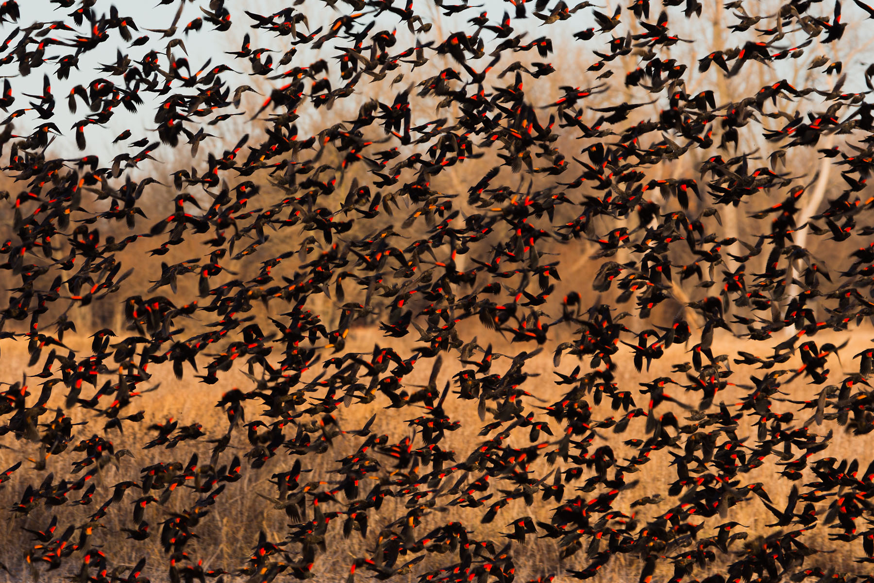 Blackbirds flocking, Loess Bluffs NWR, December 2019.  Click for next photo.