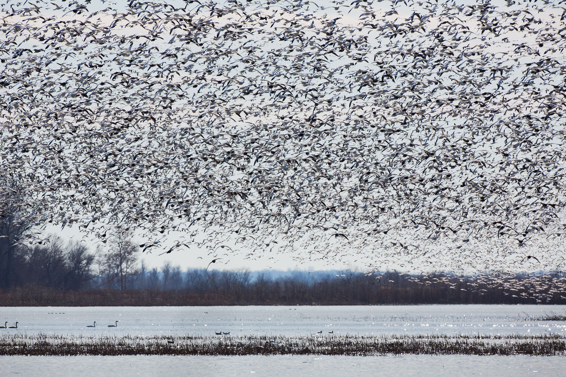 Snow geese, Loess Bluffs NWR, December 2019.  Click for next photo.