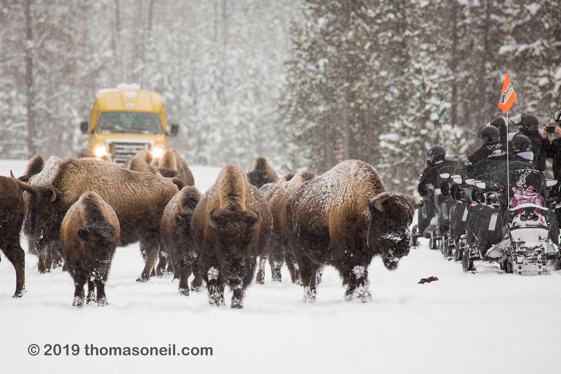 Bison on the road, Yellowstone National Park, January 25, 2019.  Click for next photo.