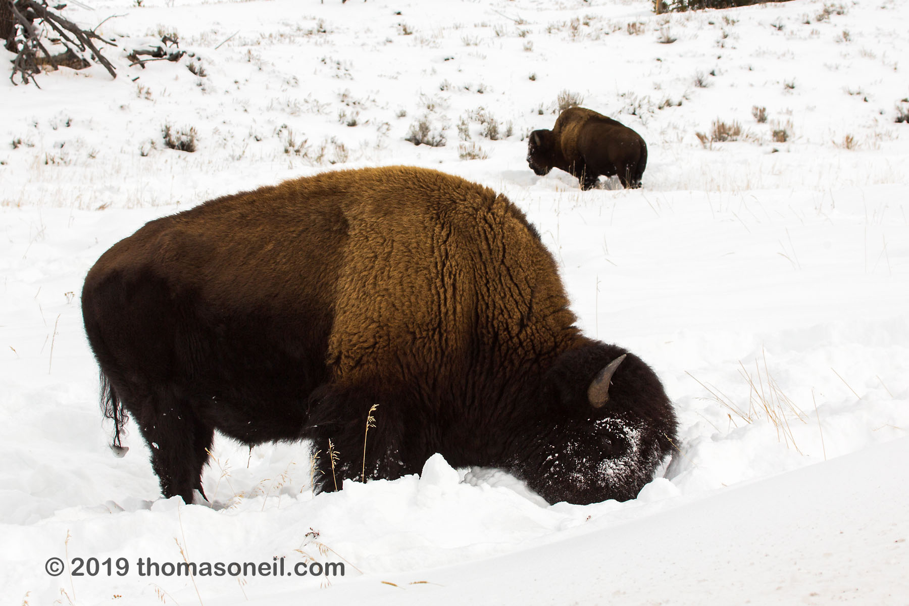 Bison sweeps snow with his head, between Mammoth and Tower, Yellowstone National Park, January 31, 2019.  Click for next photo.