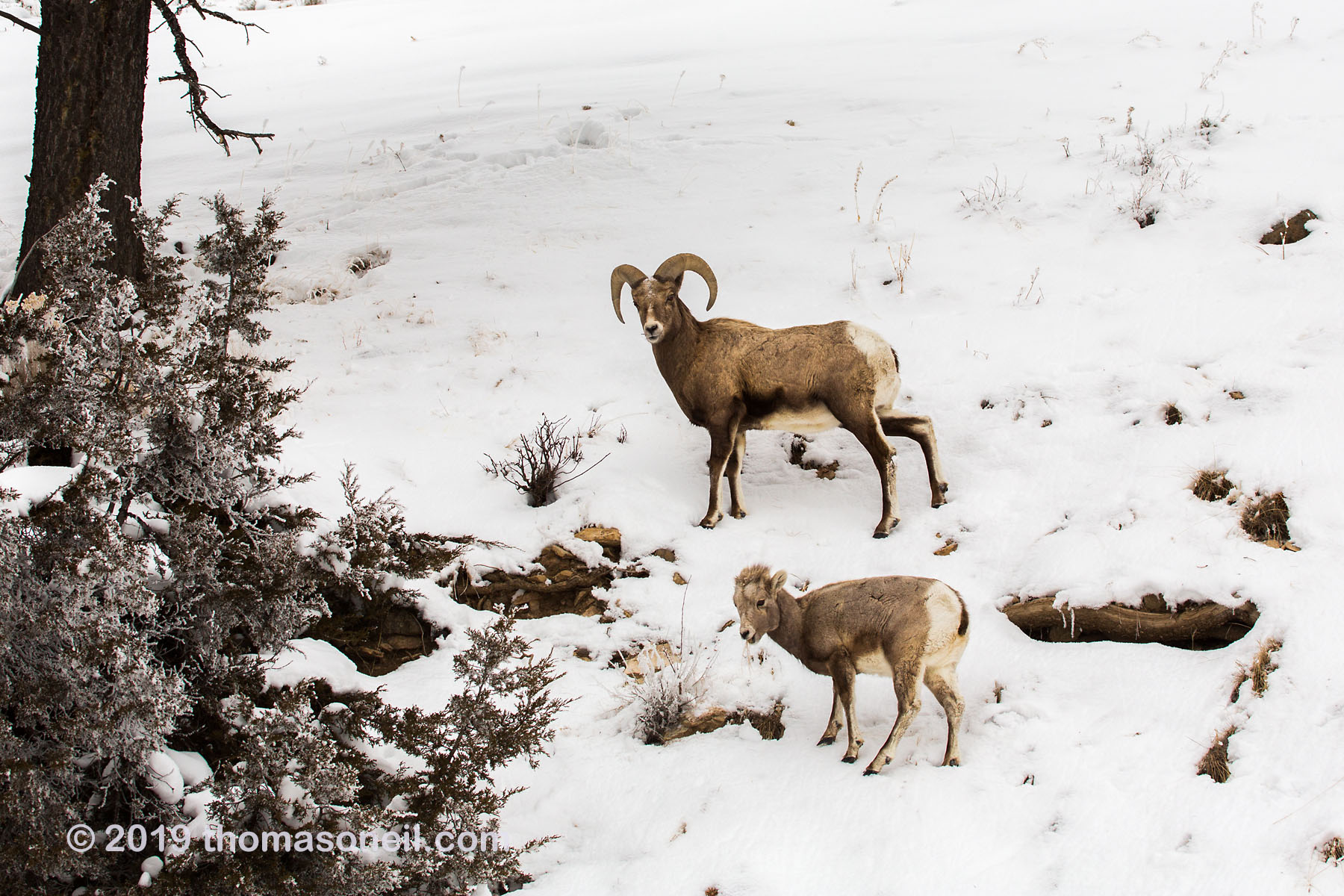 Bighorn ram and lamb in the Lamar Valley, Yellowstone National Park, January 30, 2019.  Click for next photo.