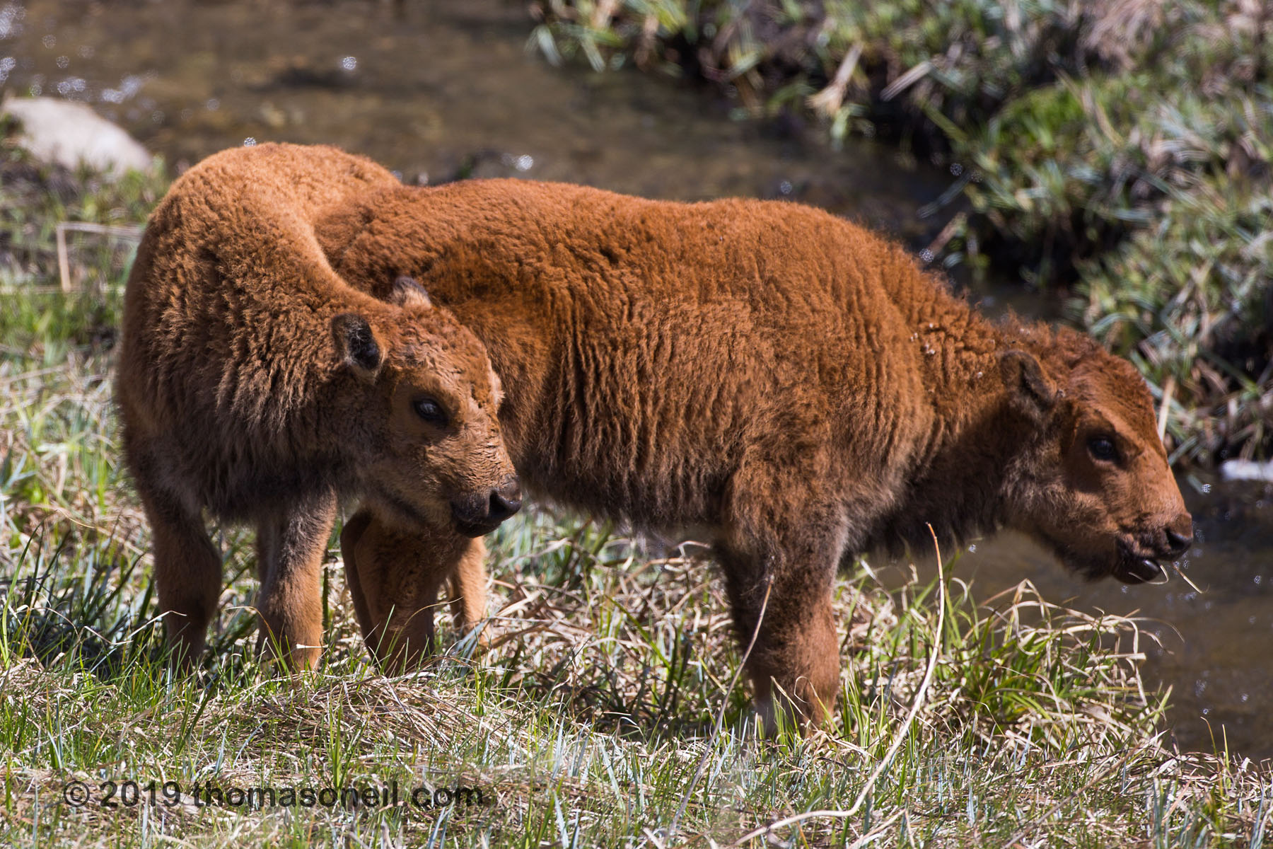 Baby bison, Custer State Park, May 2019.  Click for next photo.